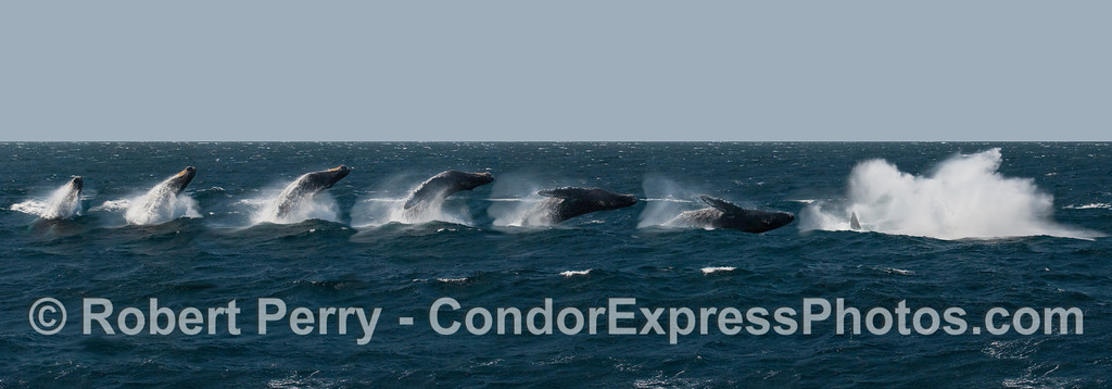 This is a montage of a single Humpback Whale (Megaptera novangliae) breach put together in PhotoShop©  to make a panorama.
