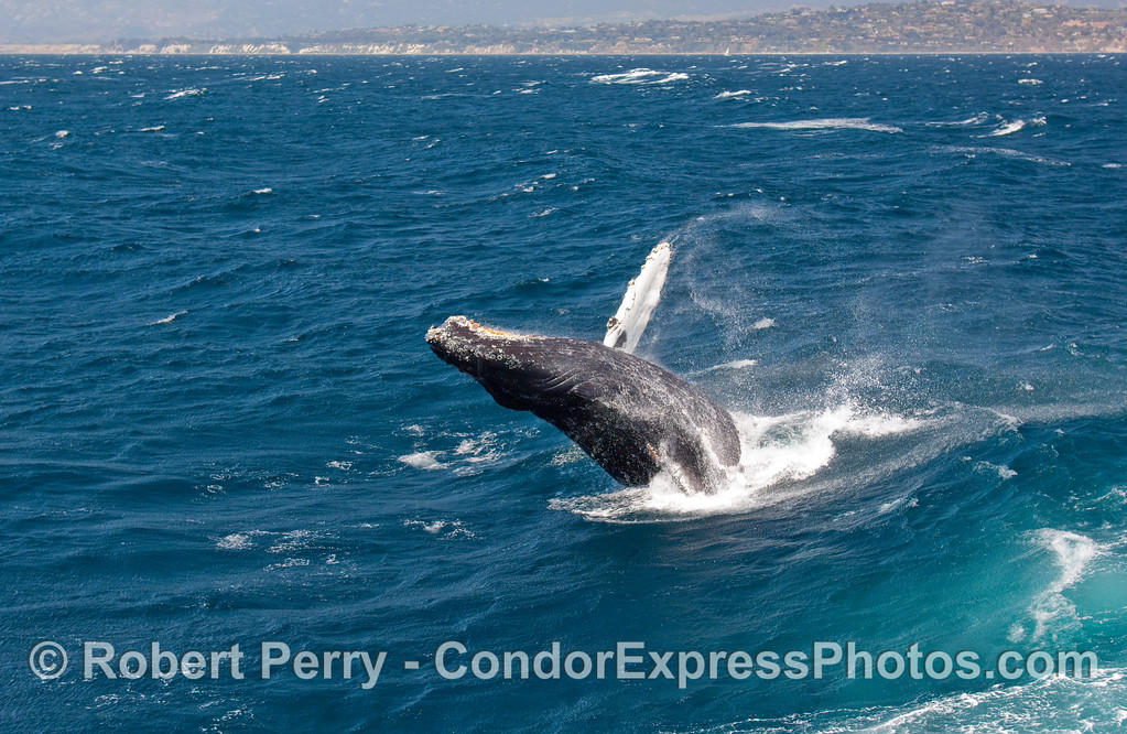 Breaching Humpback Whale (Megaptera novangliae)...sequential series...5 of 7.