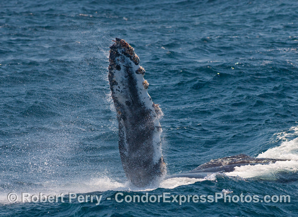 The Humpback Whale (Megaptera novangliae) paused for a moment to slap its pectoral fin.