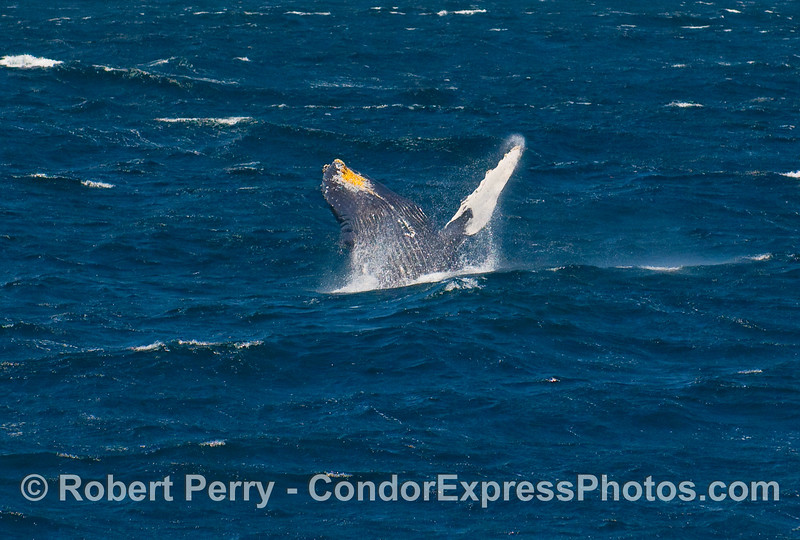 Humpback (Megaptera novangliae) waves to the passengers as it hams it up for those that brought cameras.