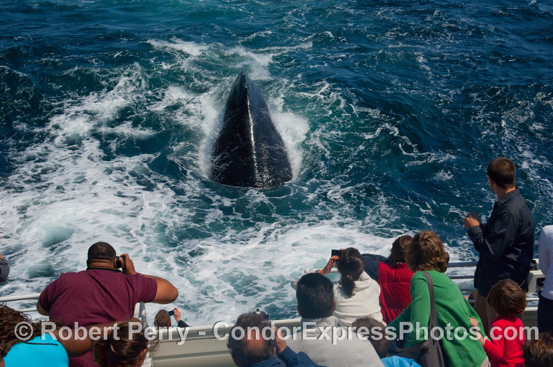 """Now the crazy Humpback Whale (Megaptera novangliae) dives into the jet wash just astern of the Condor Express.  I think it """"liked"""" the  jacuzzi-type bubble effect."""