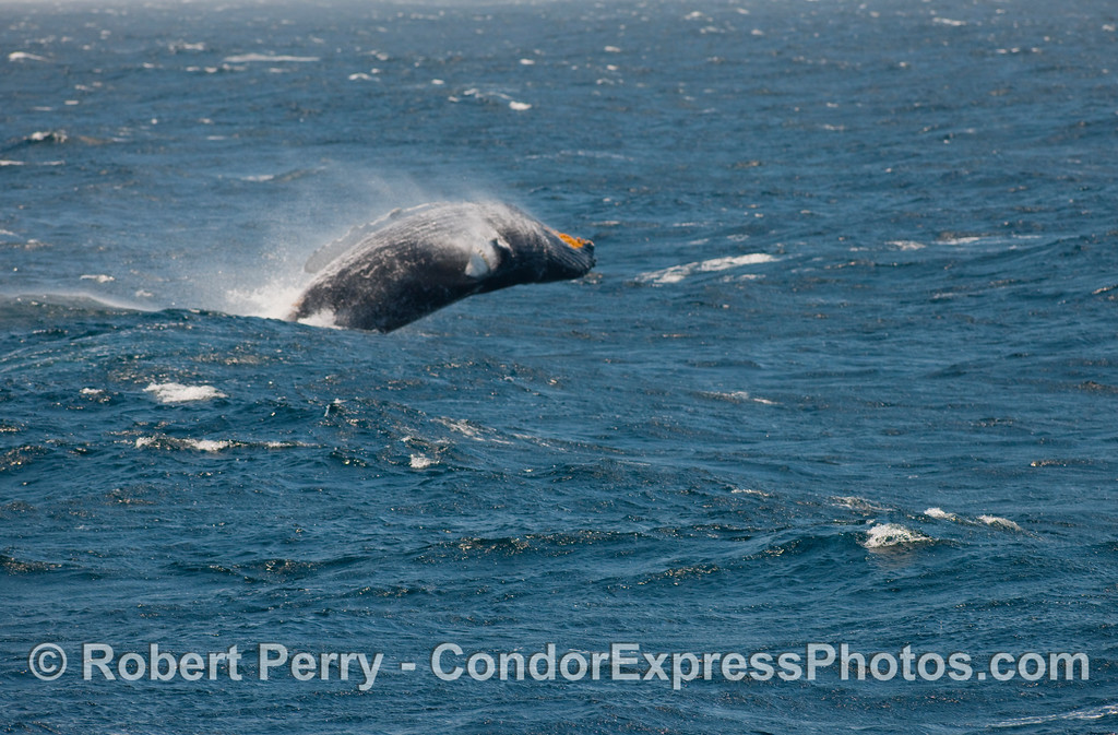 Again, this Humpback (Megaptera novangliae) catapults its body off the top of a foaming breaker.