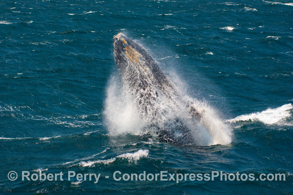 Gale force winds blow the seawater off the belly of this breaching Humpback (Megaptera novangliae).