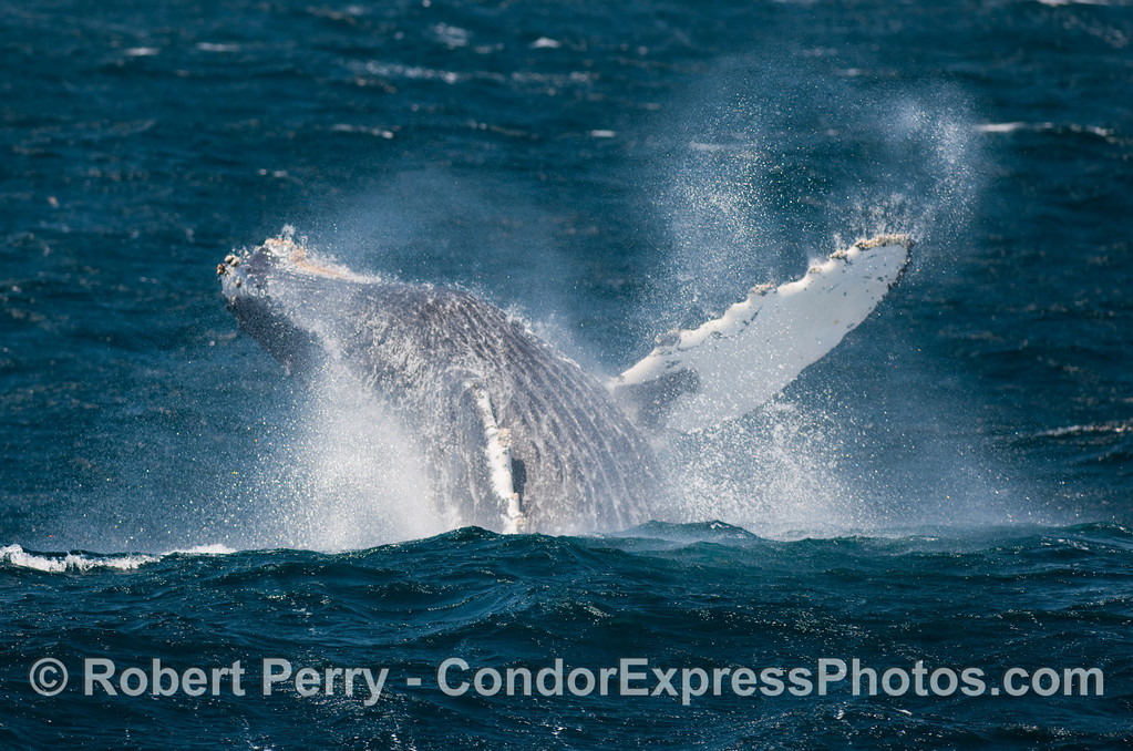 Spray flys everywhere as gale force winds and this Humpback (Megaptera novangliae) lets its pectoral fins go akimbo.