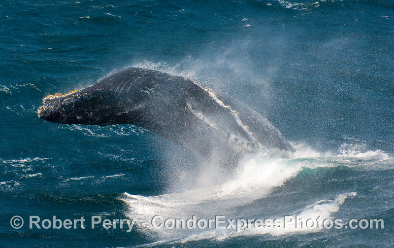 A Humpback (Megaptera novangliae) gets ready for impact.