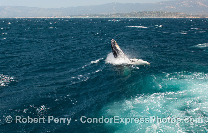 Breaching Humpback Whale (Megaptera novangliae)...sequential series...2 of 7.