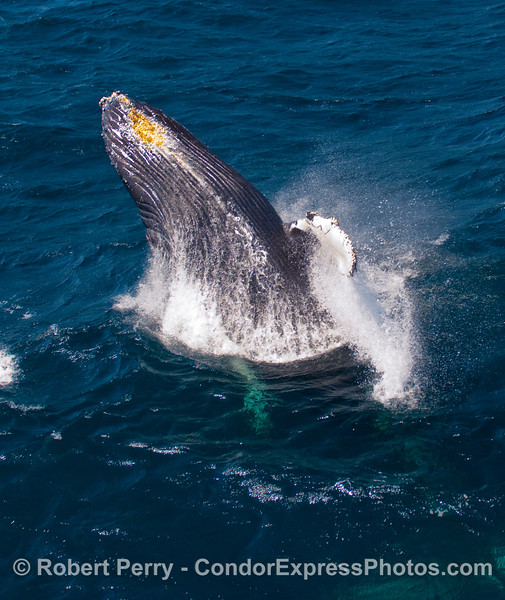 Breaching Humpback Whale (Megaptera novangliae) showing off its ventral pleats.