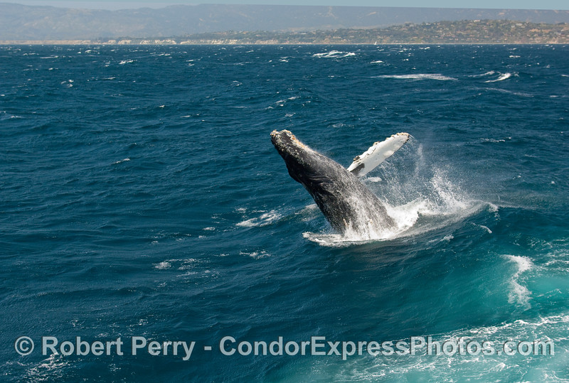 Breaching Humpback Whale (Megaptera novangliae)...sequential series...4 of 7.