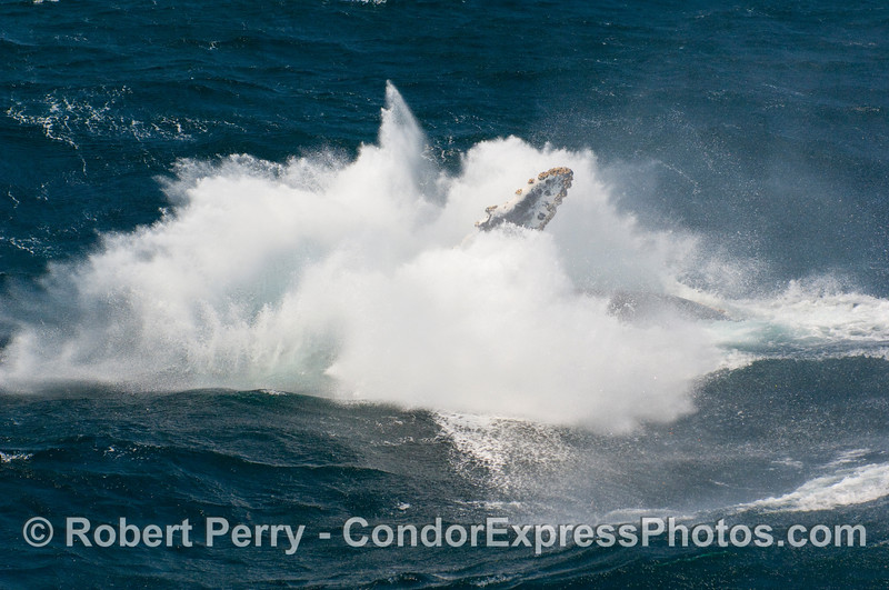 """Captain Mat Curto once told me that a breaching whale like this Humpback (Megaptera novangliae) """"looks like somebody dropped a house in the ocean."""""""