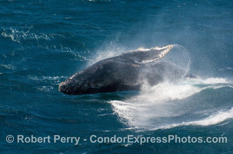 Only a spit second before the big splash....a Humpback (Megaptera novangliae) breach.
