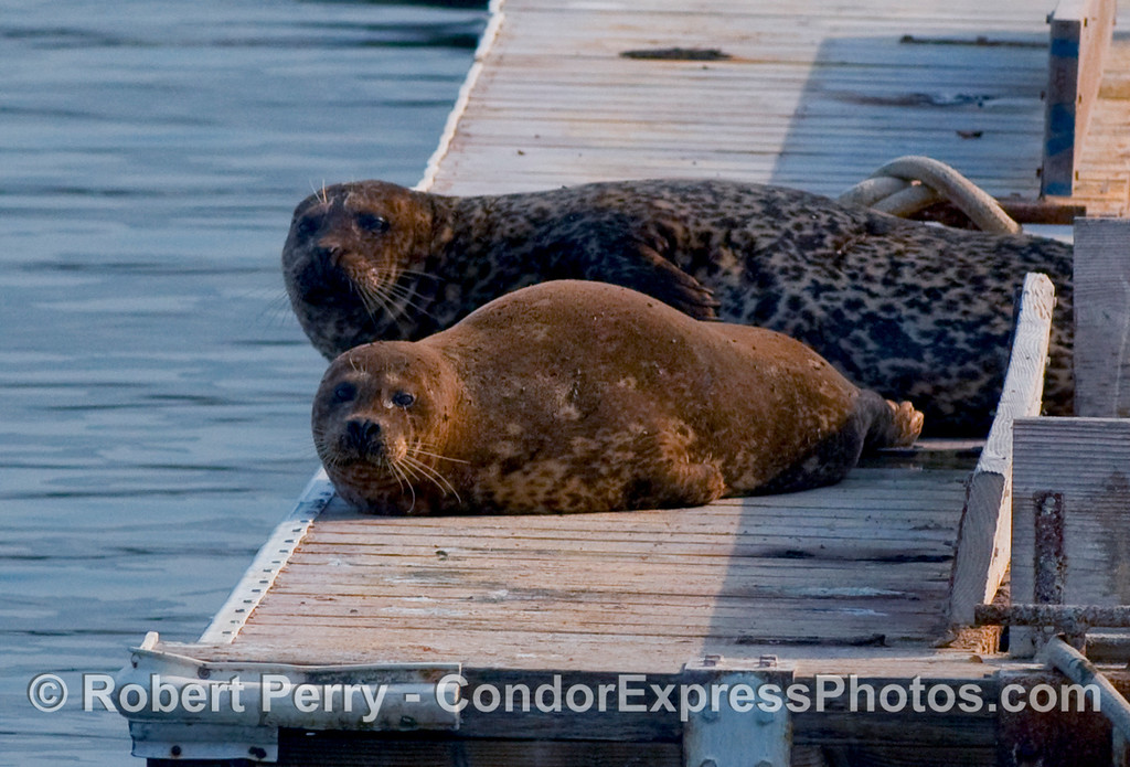 Twice harbor seals (Phoca vitulina) hauled out on the bait barge in Santa Barbara harbor.