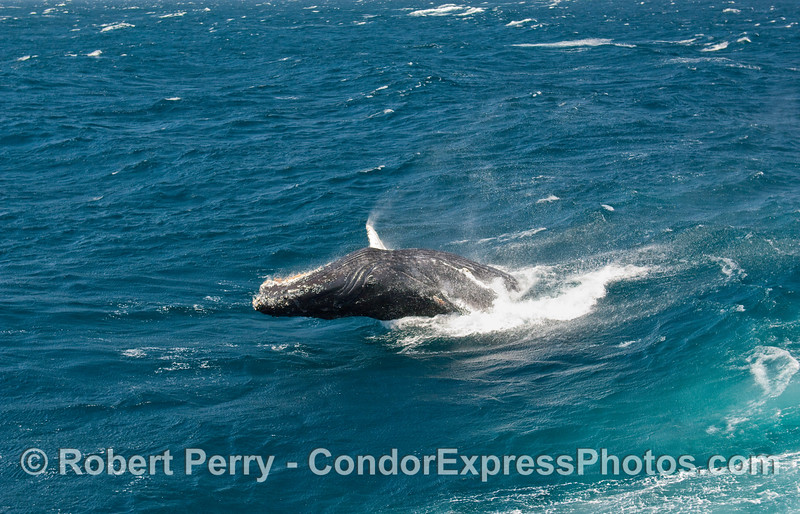 Breaching Humpback Whale (Megaptera novangliae)...sequential series...6 of 7.