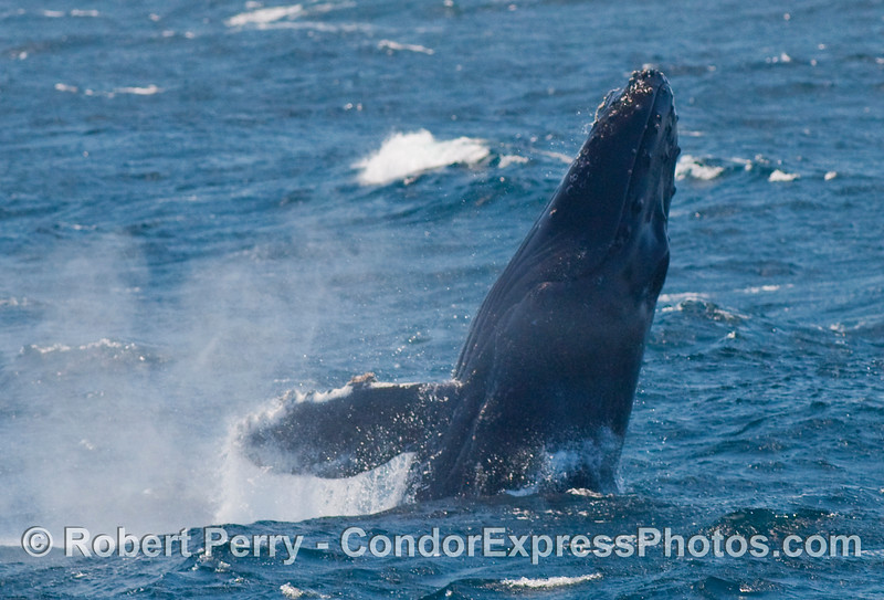 Dorsal side of a breaching Humpback (Megaptera novangliae)