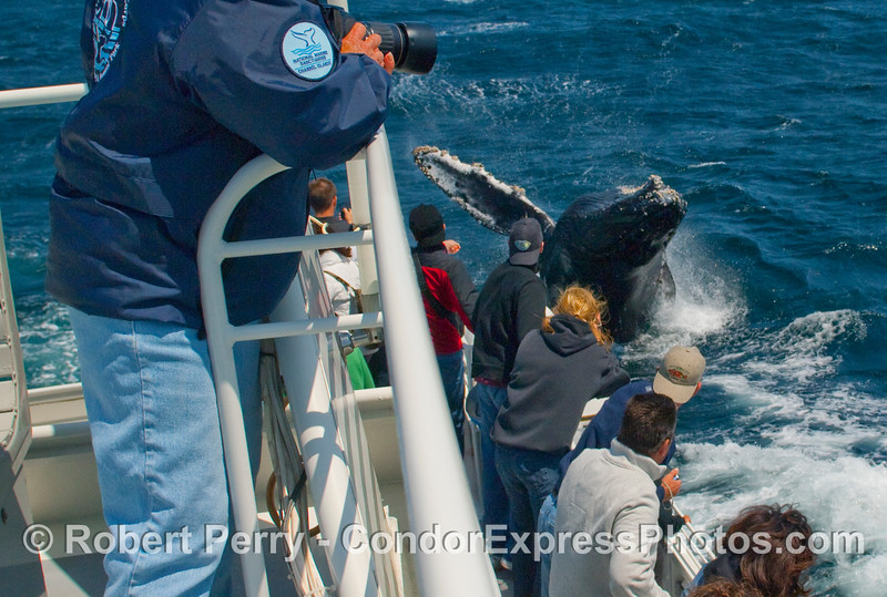 Behold the wild Humpback Whale (Megaptera novangliae) which breached just off the stern corner of the Condor Express ---  a series.