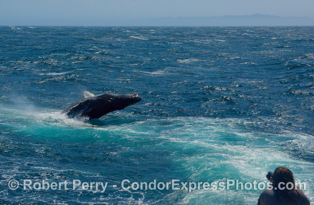 """Photographer snaps a pic of the """"wild"""" Humpback (Megaptera novangliae) breaching in the jet wash of the Condor Express as it heads for home."""