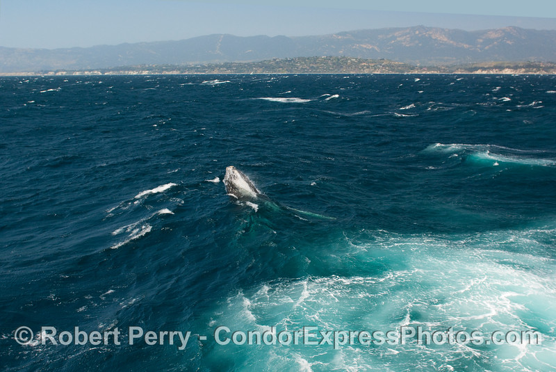 Breaching Humpback Whale (Megaptera novangliae)...sequential series...1 of 7.