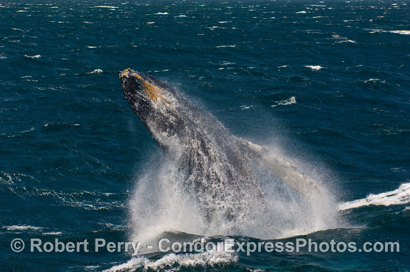 More gale winds and a breaching Humpback (Megaptera novangliae).
