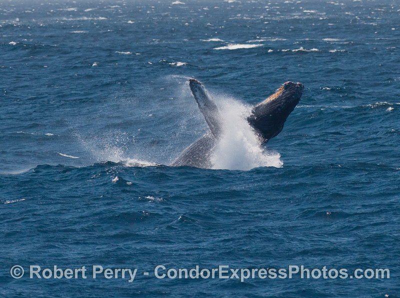 """A whitewater """"collar"""" rings the neck of this breaching Humpback (Megaptera novangliae)."""