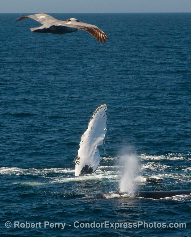 Fluke, spout and pelican.  Two Humpback Whales (Megaptera novangliae) and a brown pelican (Pelecanus occidentalis).