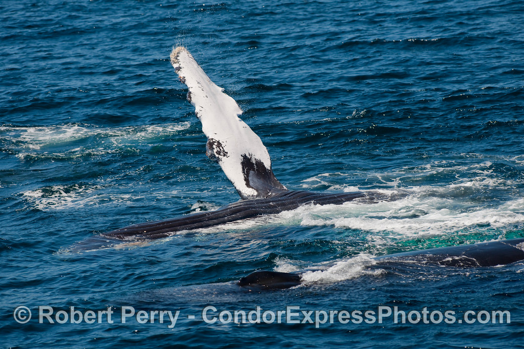 Upside down Humpback Whale (Megaptera novangliae) with pectoral fin up, and a second whale in the foreground.