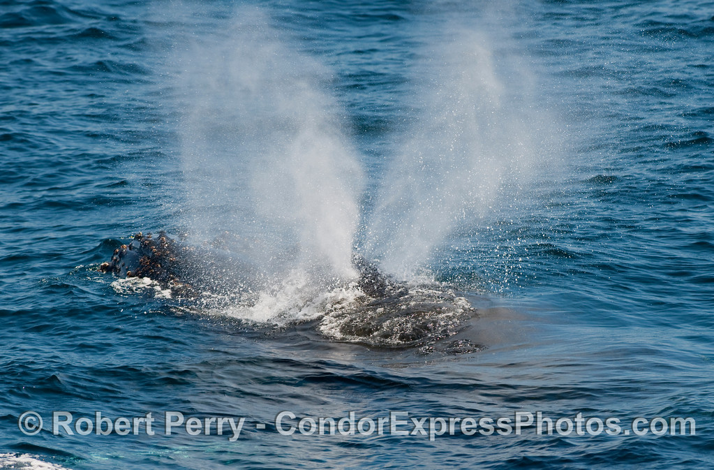 Head and spout:  a Humpback Whale (Megaptera novangliae).