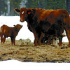 Experts say that the high levels of snow are causing difficulty for newborn calves.  Citizen photo by David Mah