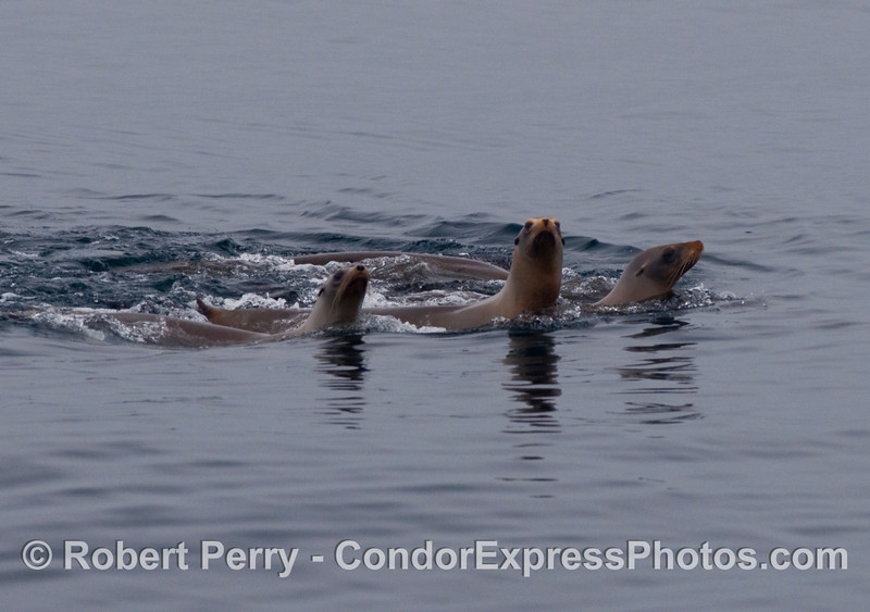 Three California sea lions (Zalophus californianus).
