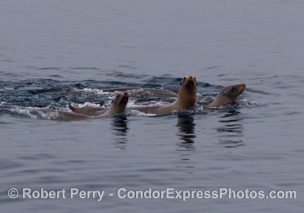 Three California sea lions (Zalophus californianus).