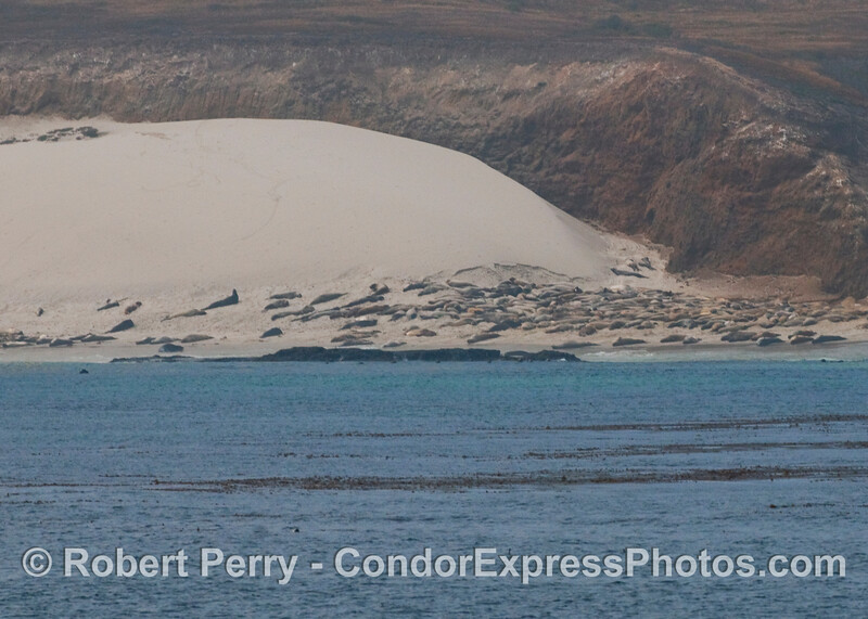 Elephant seals (Mirounga angustirostris) on the sand dunes along the south side of San Miguel Island.