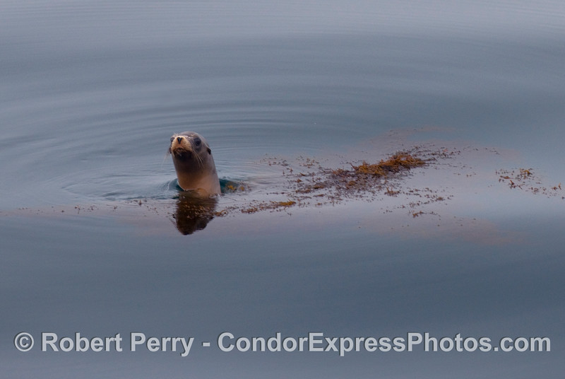 A lone California sea lion (Zalophus californianus) takes refuge near some floating Cystoseira sea weed debris.