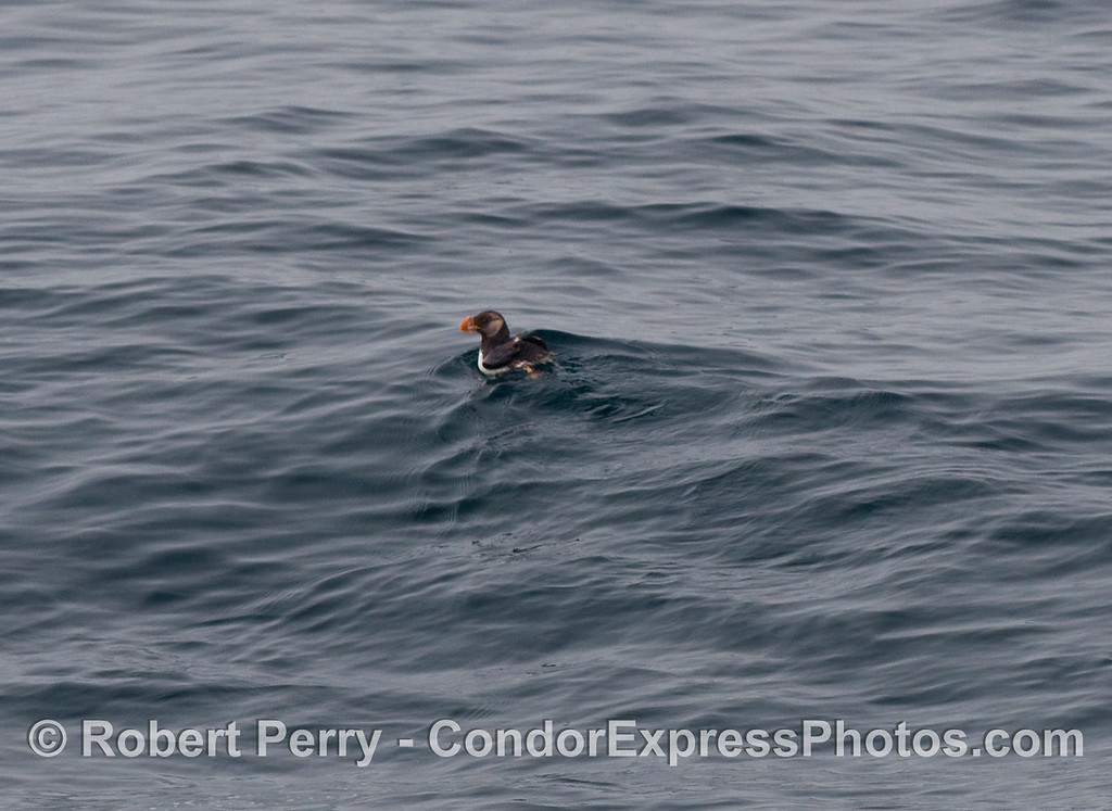 Another look at the horned puffin (Fratercula corniculata).