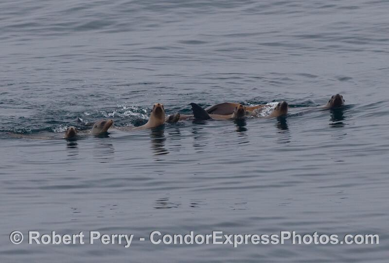 A  mob of curious California sea lions (Zalophus californianus).