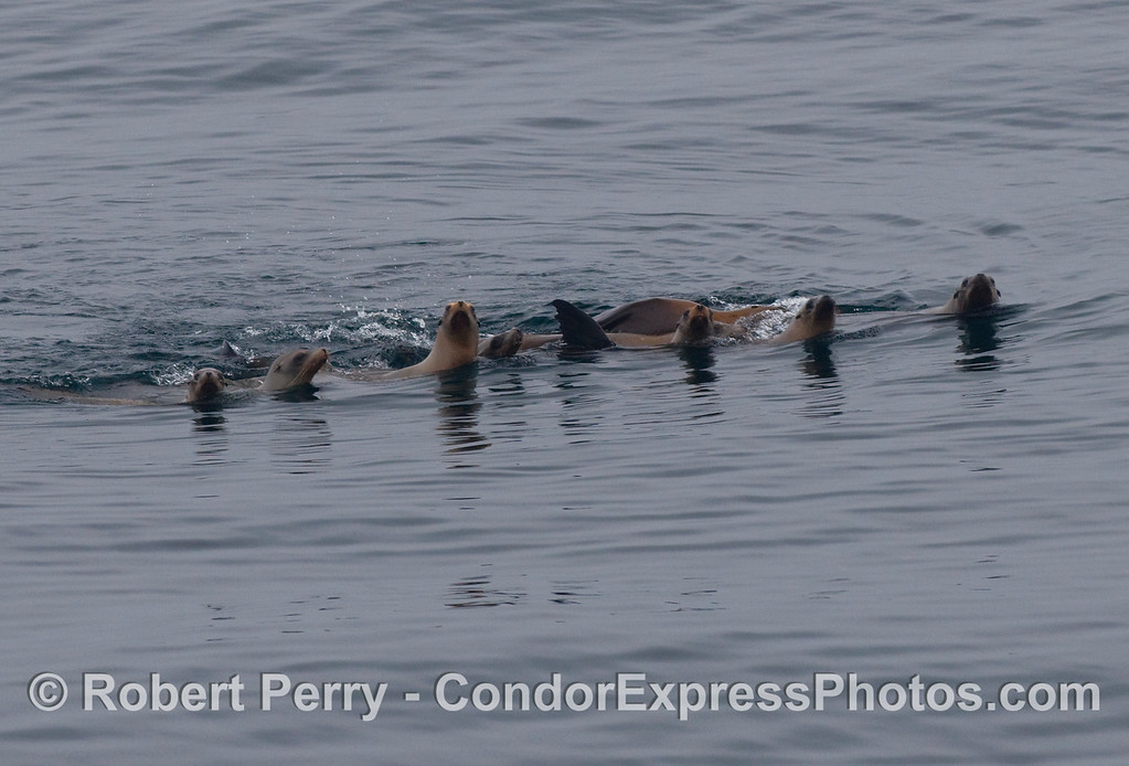 A  mob of curious California sea lions (Zalophus californianus).