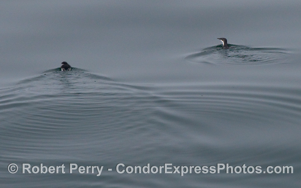 Adult male Xantus' murrelet (Synthliboramphus hypoleucus). and its very young offspring.