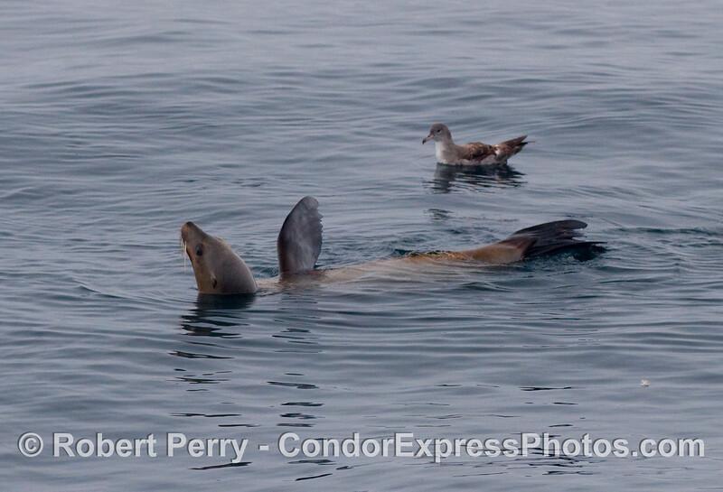 Pink footed shearwater (Puffinus creatopus) and California sea lion (Zalophus californianus).