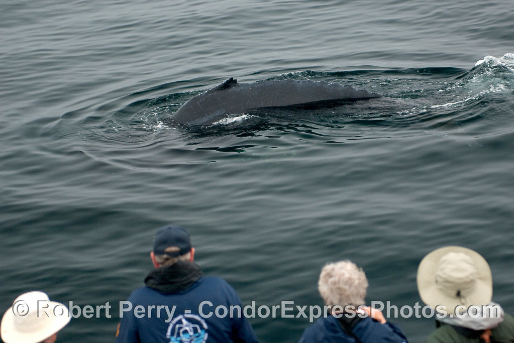 A Humpback Whale (Megaptera novangliae) with people watching from the Condor Express.