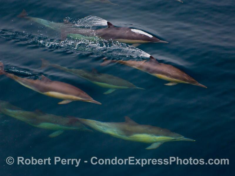 Six common dolphins (Delphinus capensis) rocket past us underwater.