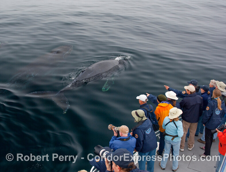 """Two more Humpback Whales (Megaptera novangliae)  cruise close by the people on the Condor Express.  """"Look at all the blue jackets,""""  they must be thinking."""