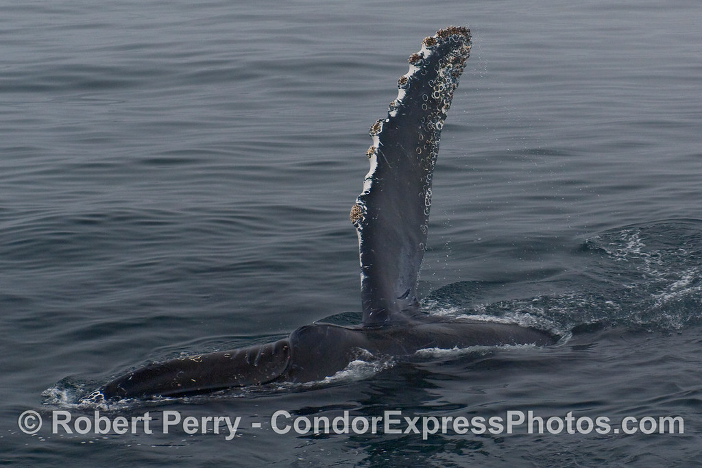A long, tall pectoral fin from a Humpback Whale  (Megaptera novangliae).