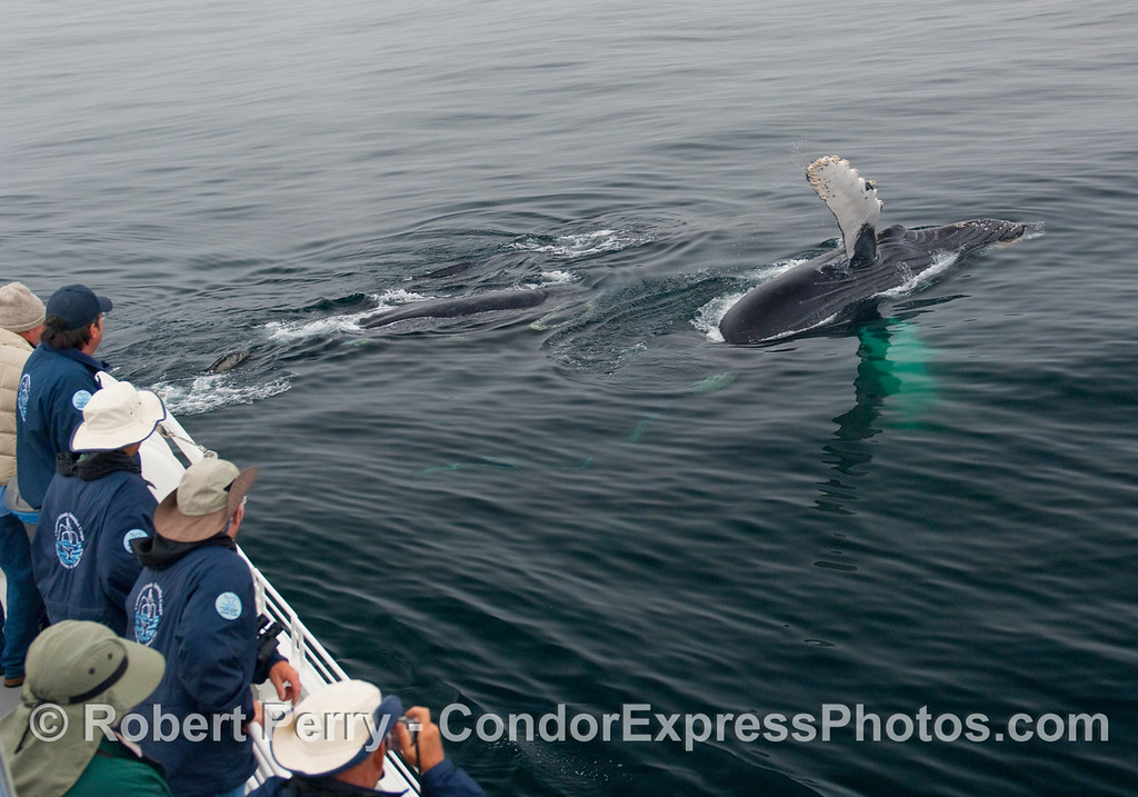 Several Humpbacks (Megaptera novangliae) close to the boat and one does a pectoral slap wave.