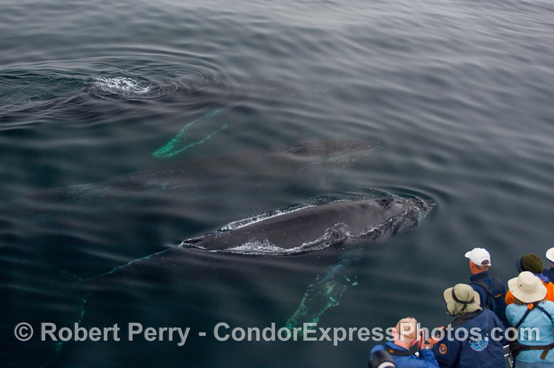 "Three humpback whales (Megaptera novangliae) come in for a ""mugging"" of the Condor Express."