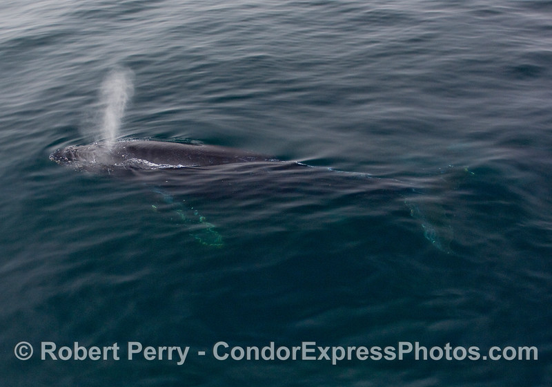 An entire Humpback Whale (Megaptera novangliae) passes alongside the Condor Express and rises to the surface to breathe.