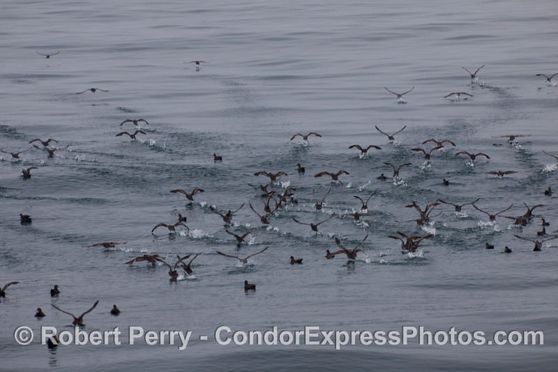 A mob of sooty shearwaters (Puffinus griseus).