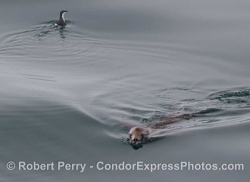 A juvenile Xantus' murrelet (Synthliboramphus hypoleucus) swims one way, while a California sea lion (Zalophus californianus) swims the other.  Many bird photographers complain that every time you get a rare bird up close near the boat a pesky furry mammal comes in to get itself in the picture.  As you can tell by my company logo, and as much as I love pelagic birds.....