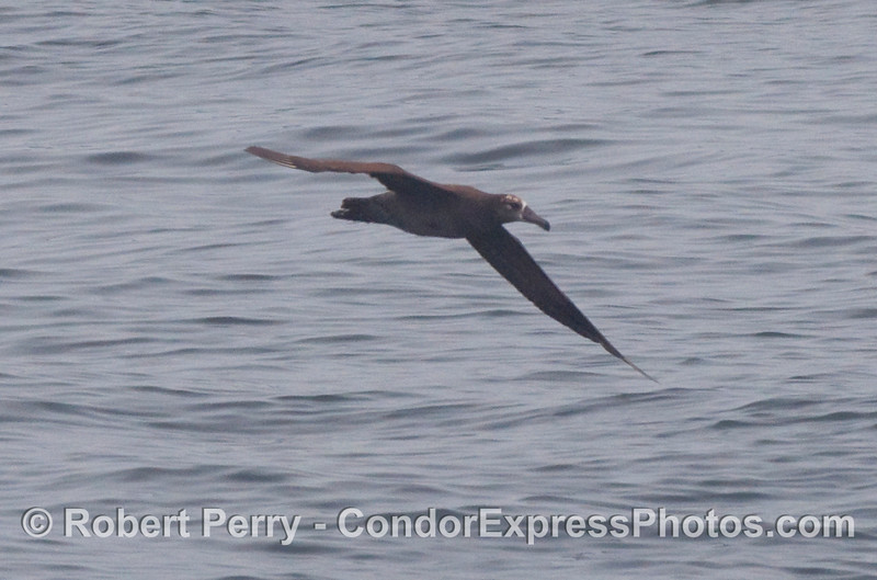 Young black-footed albatross (Phoebastria nigripes) in flight.