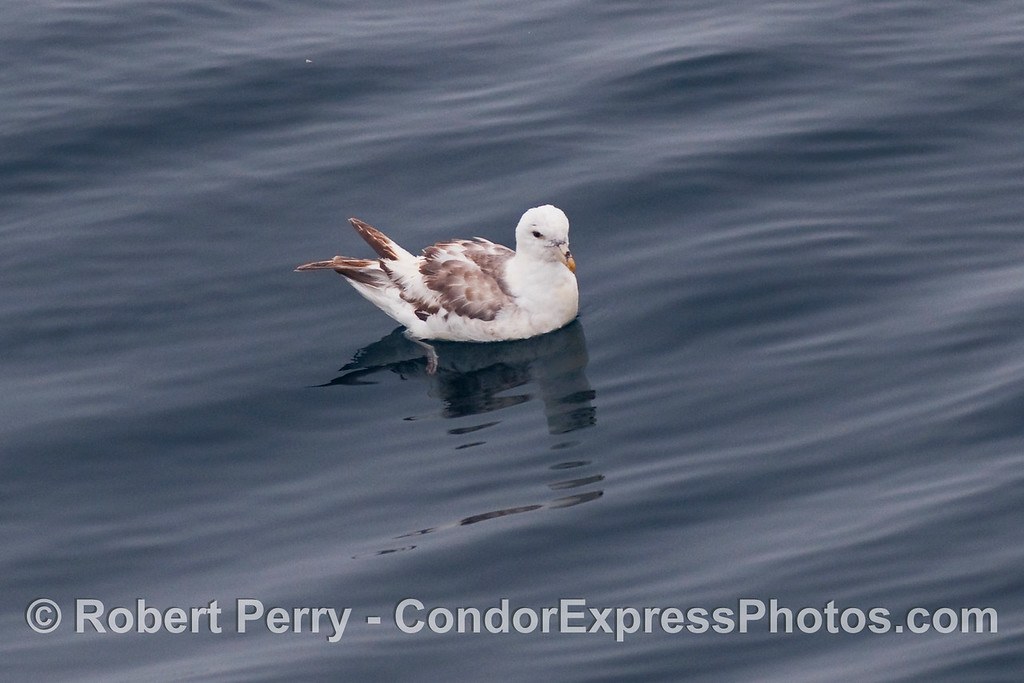 Two looks at a northern fulmar (Fulmaris glacialis); shot  2 of 2.