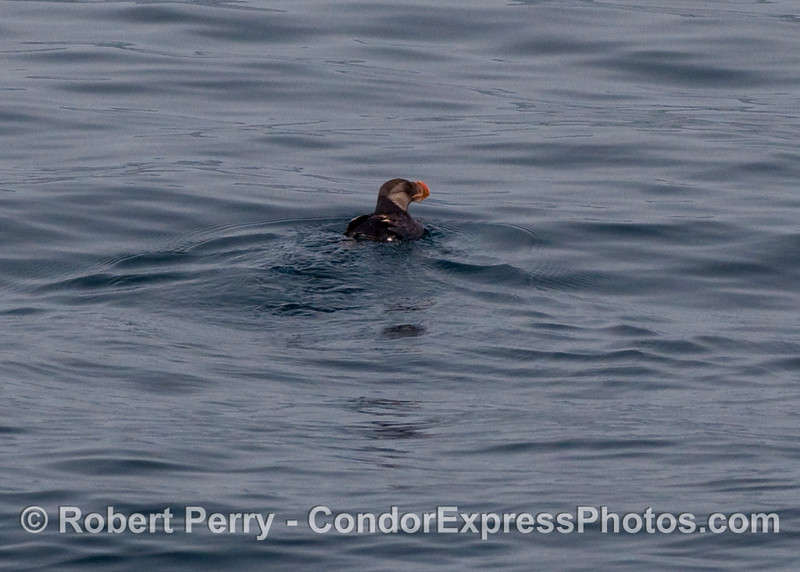 The horned puffin (Fratercula corniculata) turned out to be a major sighting of this unusual looking fish-eating bird.