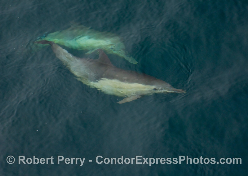 Two curious common dolphins take a look up at us (Delphinus capensis).