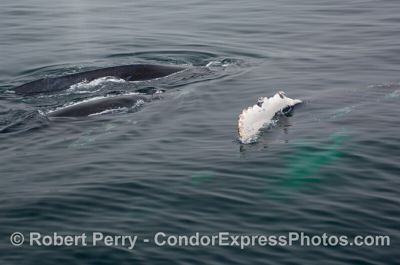 Three whales (Megaptera novangliae) and one of them on its side.