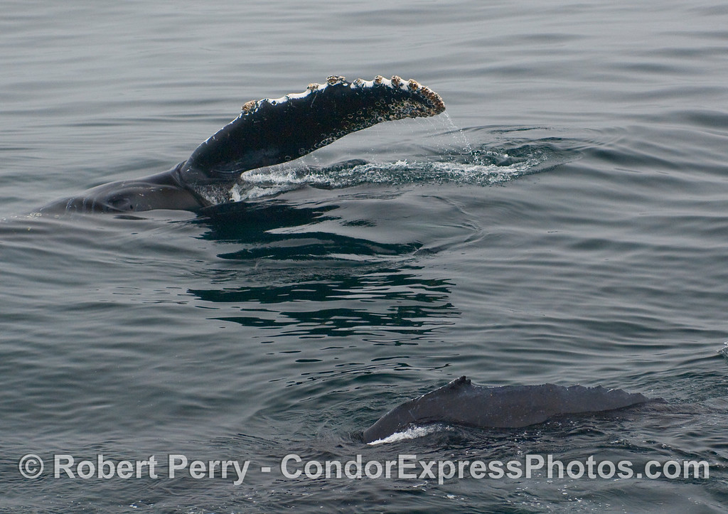Adult Humpback Whale  (Megaptera novangliae) raises its pectoral fin, while a juvenile swims by in the foreground.